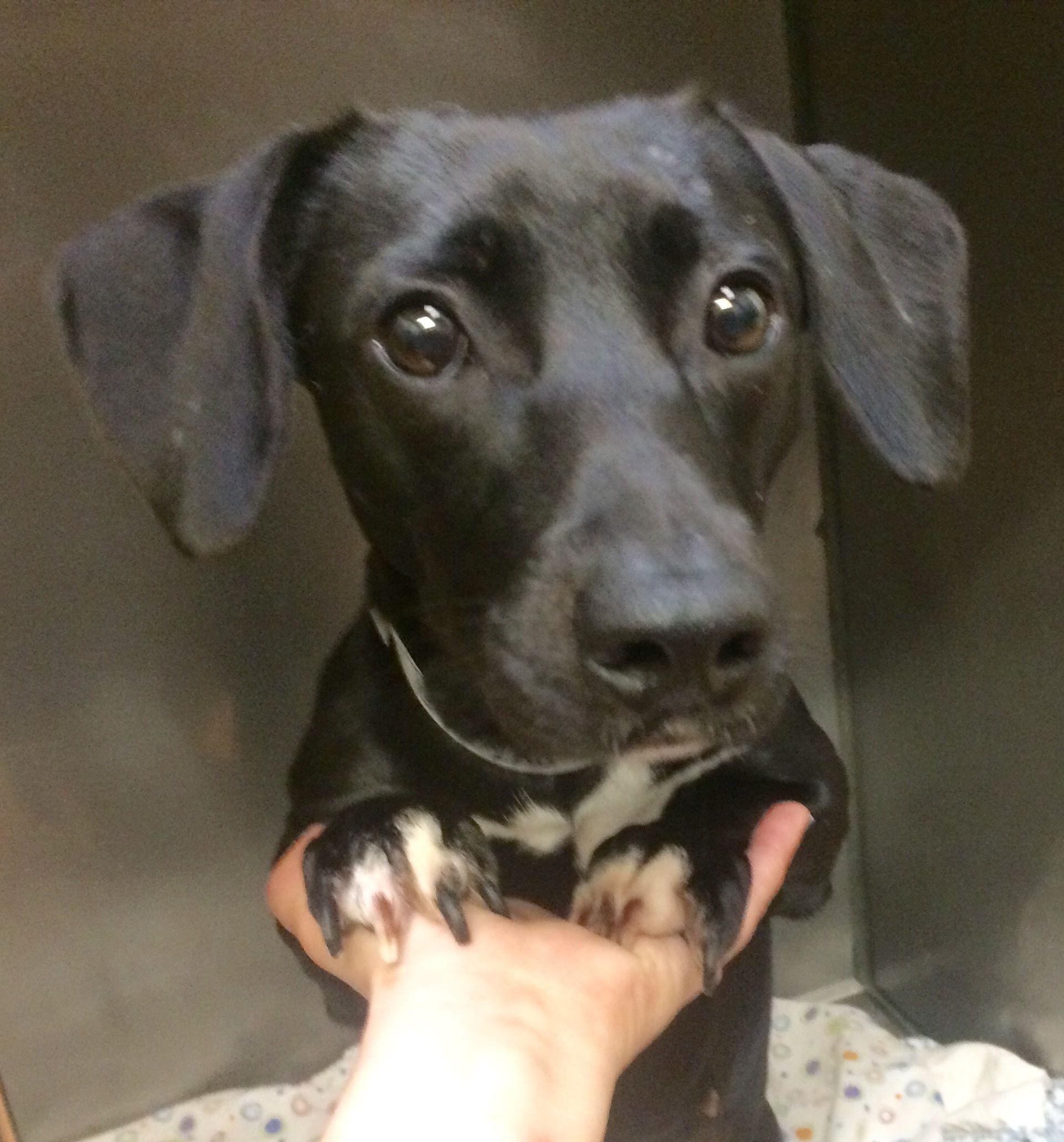 Adopt Miss Tyler on Dog adoption, Dachshund adoption, Pets