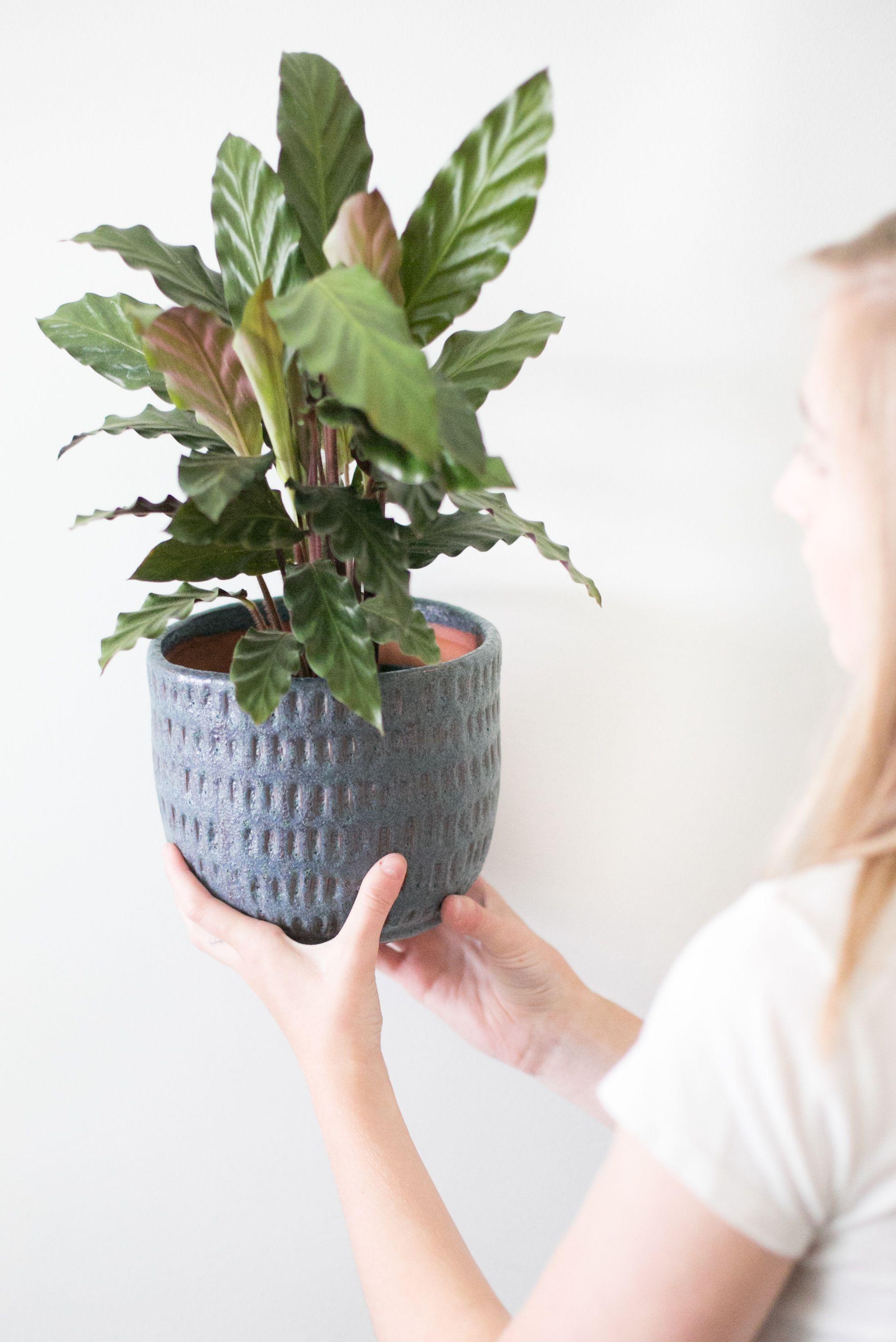 The Zen Succulent - Plants