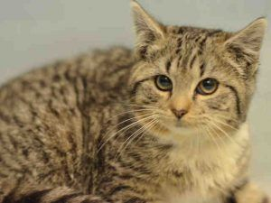 ***UNKNOWN 01/30/17***  KITTEN ALERT! GRAIN IS 16 WEEKS OLD AND PERFECTLY HEALTHY - NOT TO MENTION JUST GORGEOUS!  SHE NEEDS A FOSTER OR ADOPTER NOW TO SAVE HER LIFE!