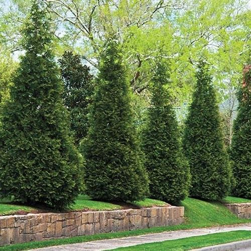 Green giant arborvitae exterior pinterest green for Green giant arborvitae