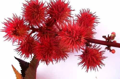 sementes de mamona vermelha 15 unidades frete grátis