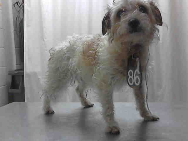 Texas Id A397608 Is A 3yo Miniature Poodle In Need Of A Loving Adopter Rescue At Harri Animal Snacks Animal Crackers Animal Shelter