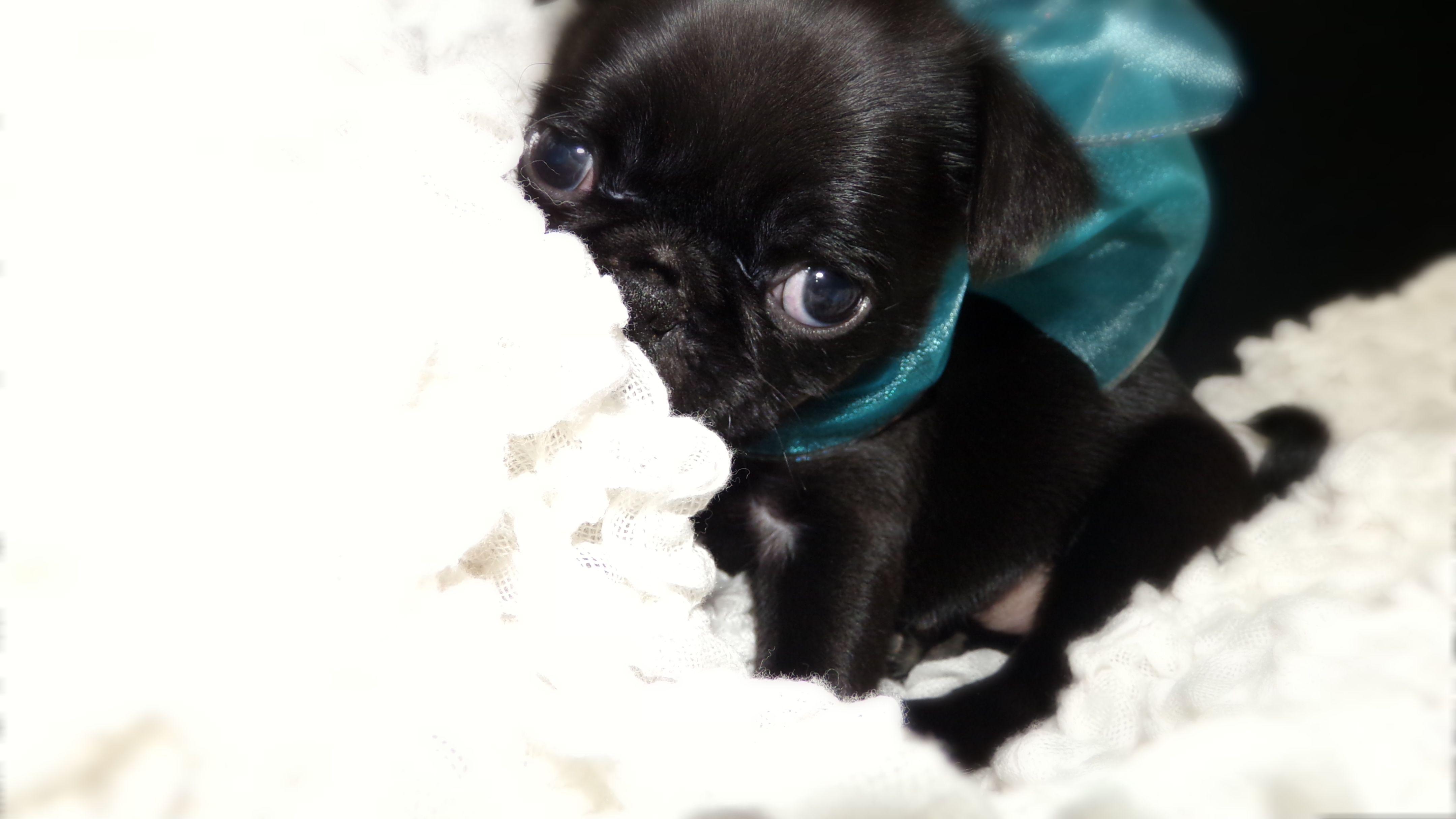 Theodore My Toy Black Pug Puppy X Pug Puppies Black Pug