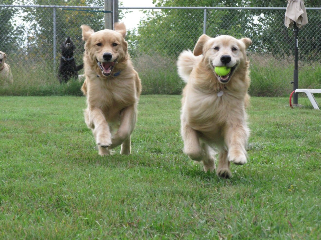 2 Dogs Playing Google Search Dogs Labrador Retriever Golden