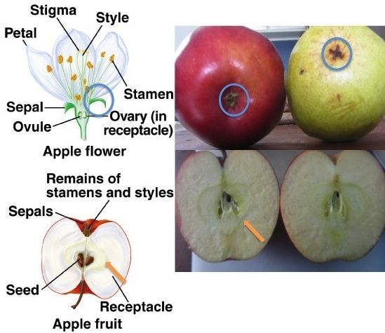 Apple Diagram Of A Flower - Trusted Wiring Diagram •