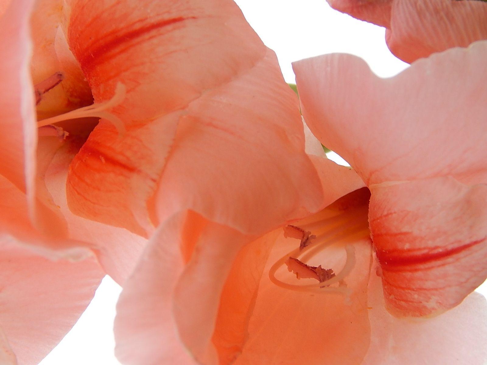 Tipo de flor chamada Palmas