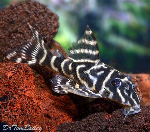 Aquarium Fish For Sale Siluriformes Peceras Acuarios