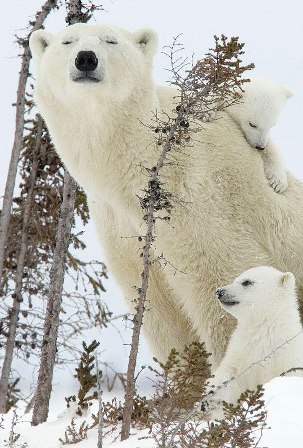 A Day In The Life Of A Polar Bear Family Polar Bear Bear