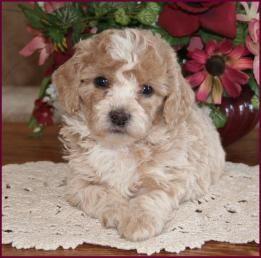 Bichon Poodle Puppies for SalePoochonDog BreedersIowa
