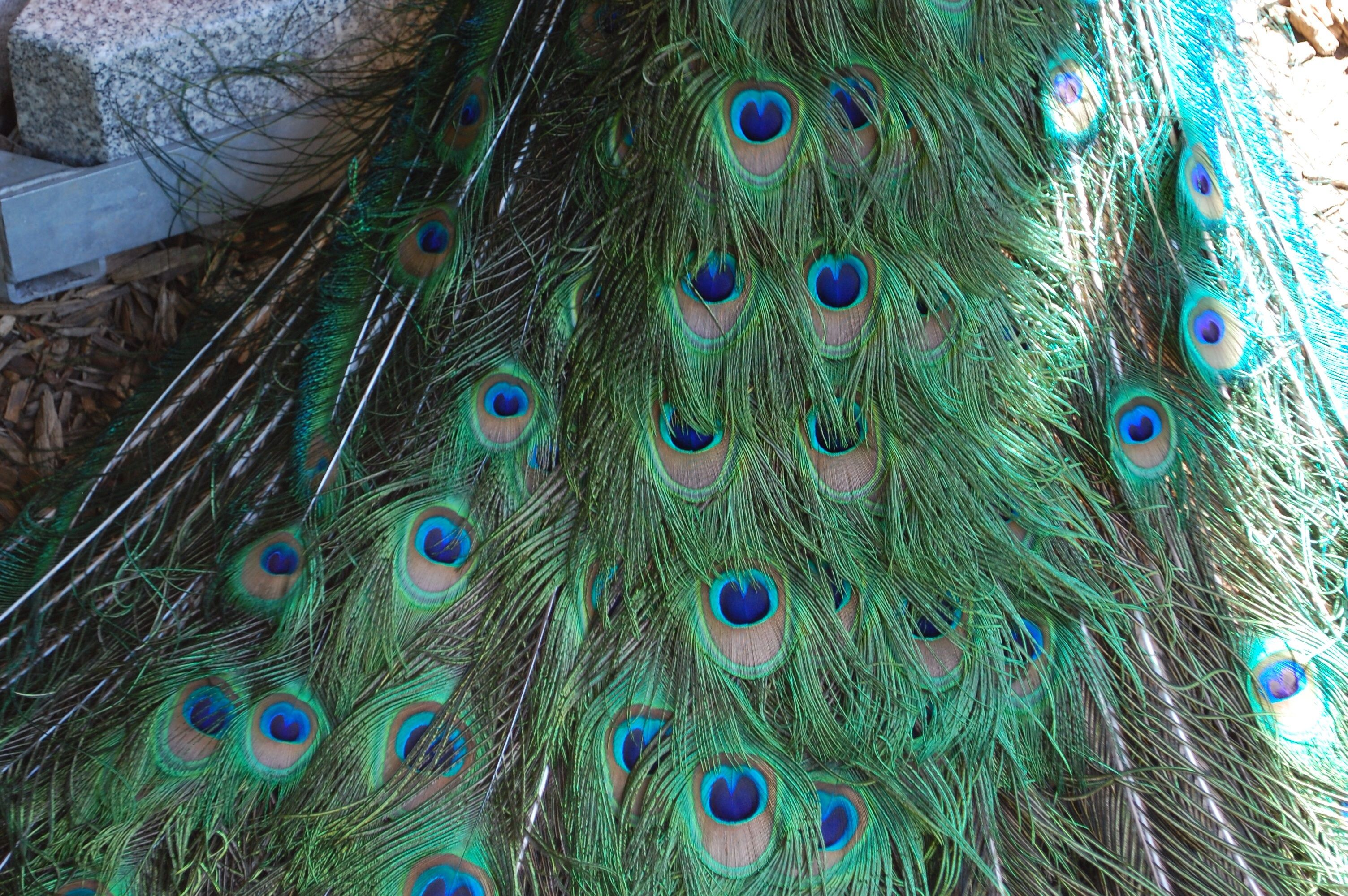 Peacock feathers photos pinterest dream explanation and peacocks peacock feathers biocorpaavc Gallery