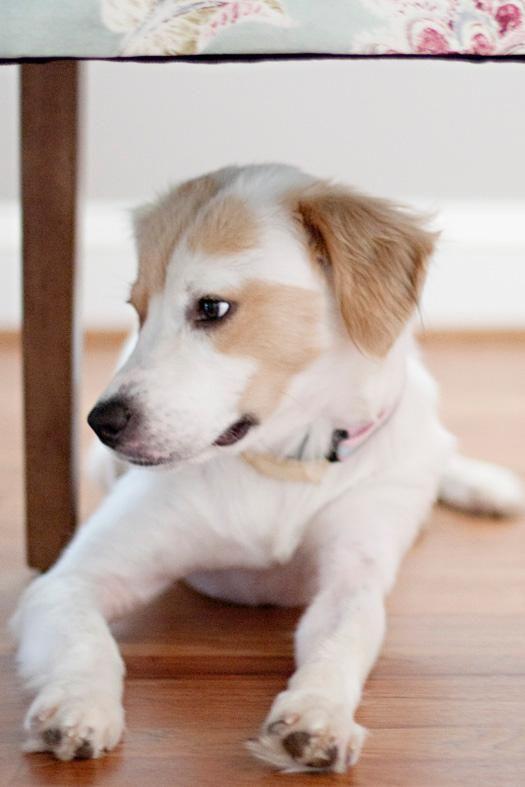 Adopt Cranny on Shepherd mix dog, Dogs, Australian shepherd