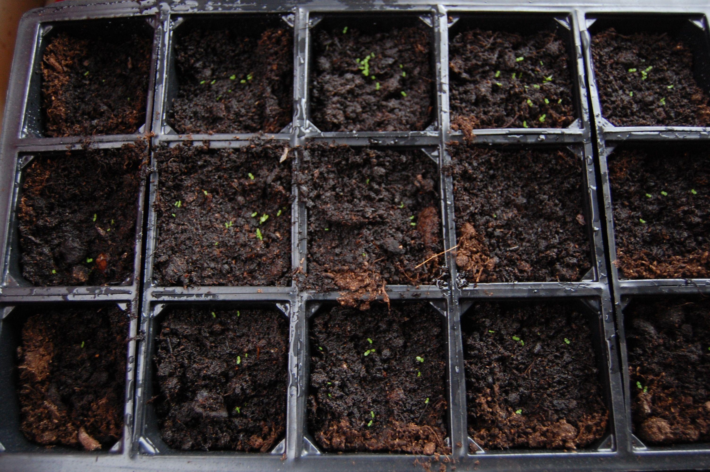 How To Germinate Nicotiana Seeds.
