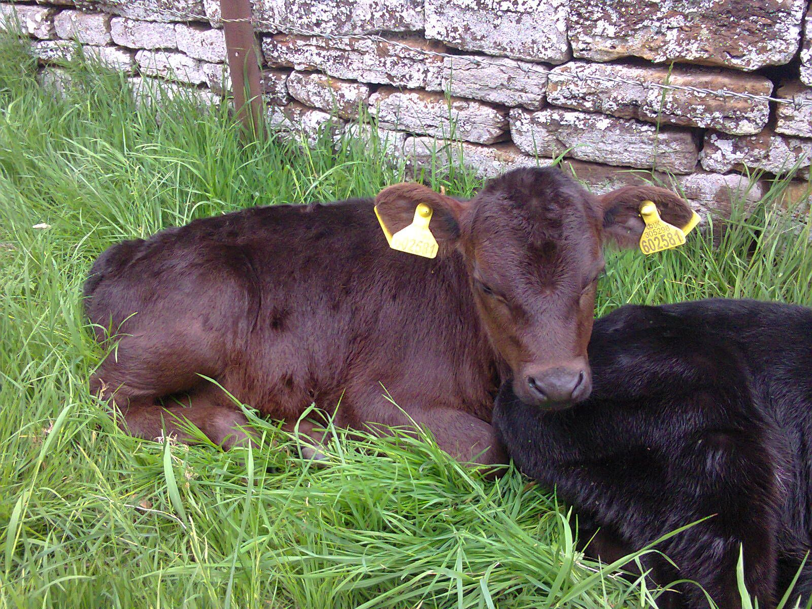 Baby Cows Lying Down So Cute Don T Worry Btw If You Think They