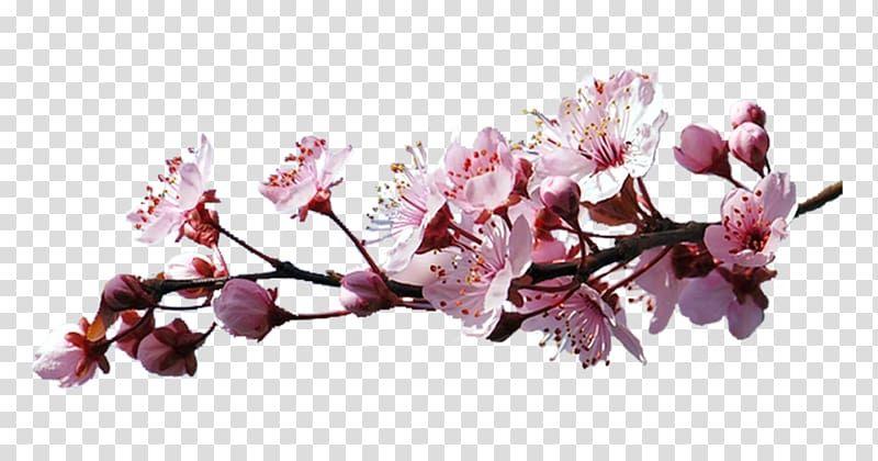 Cerasus Cherry Blossom Sakura Branch Transparent Background Png Clipart Cherry Blossom Watercolor Cherry Blossom Drawing Cherry Blossoms Illustration