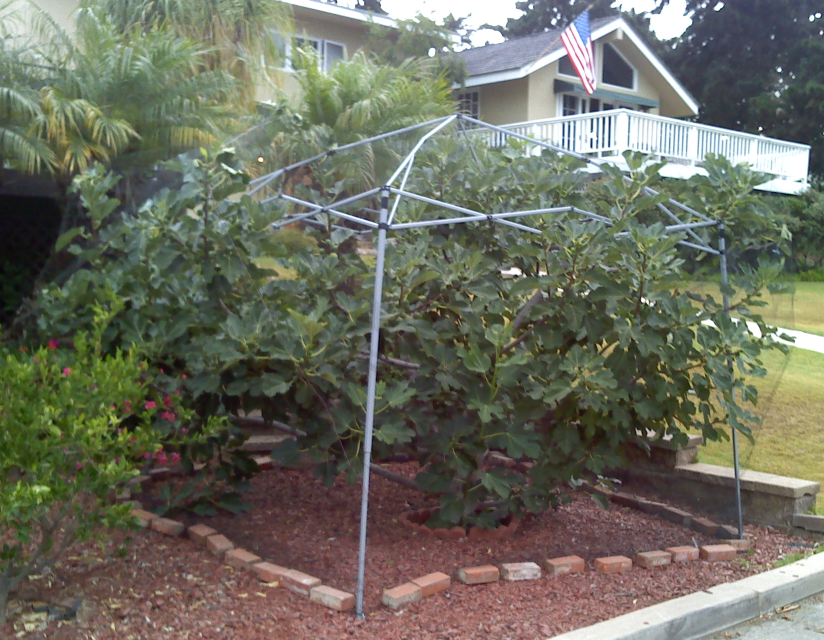 canopy frame for bird netting over fig trees | Green Thumb ...