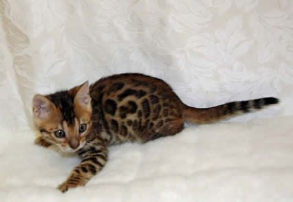 Sierra Gold Bengals Is A California Breeder Of Championship Quality Silver Bengal Kittens Brown Bengal Cats Gold Beng Bengal Cat Creepy Cat Marble Bengal Cat