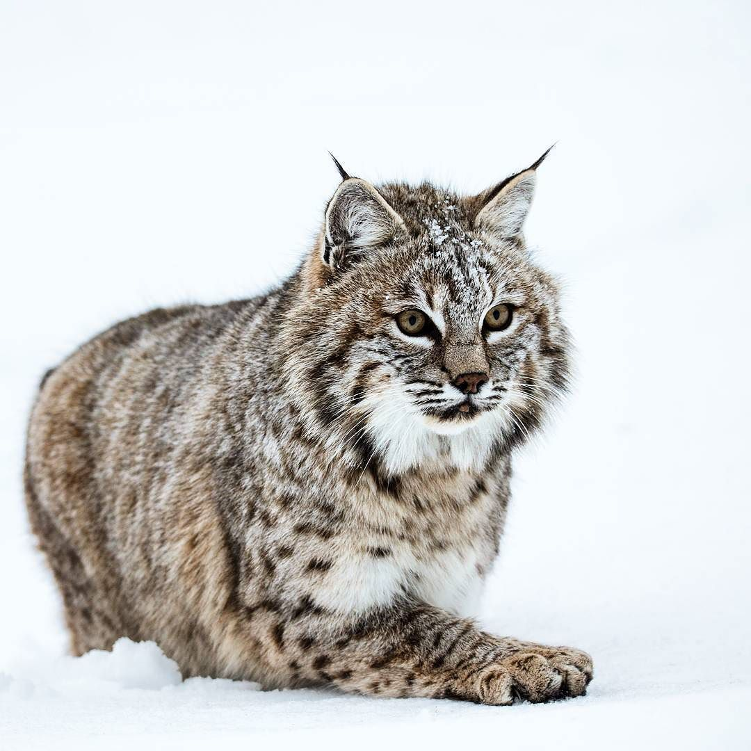 Headed off on another photography adventure tomorrow! Looking forward to travel with friends and have opportunities to photograph this cool dude. His name is Bob and he is a bobcat!
