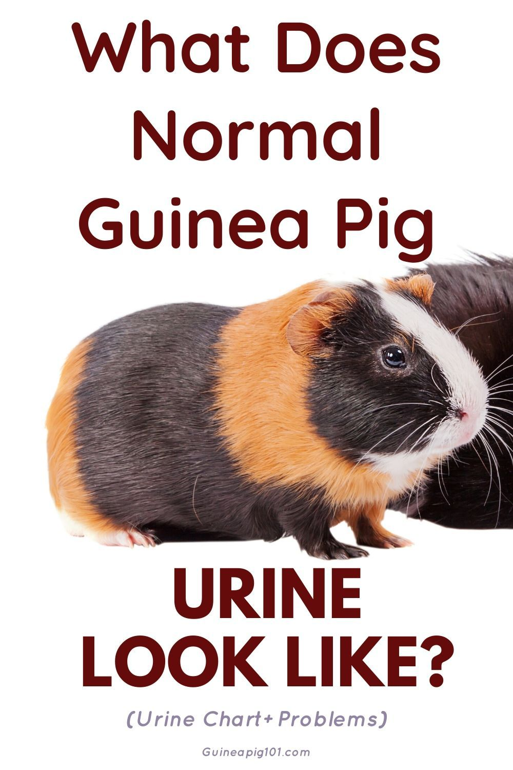 Pin On Guinea Pig Health Post Pet Treatment Pet Blog
