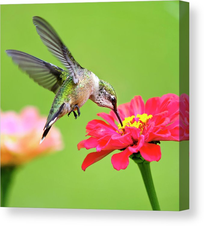 Waiting In The Wings Hummingbird Square Canvas Print / Canvas Art by Christina Rollo  #Art #Canvas #Christina #Hummingbird #Print #Rollo #Square #Waiting #wings