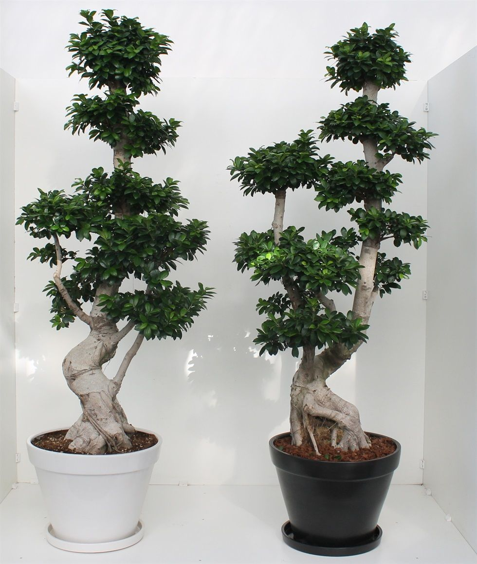 Ficus Ginseng Bonsai Something Very Simple And Also Very Beautiful You Can Do For Your