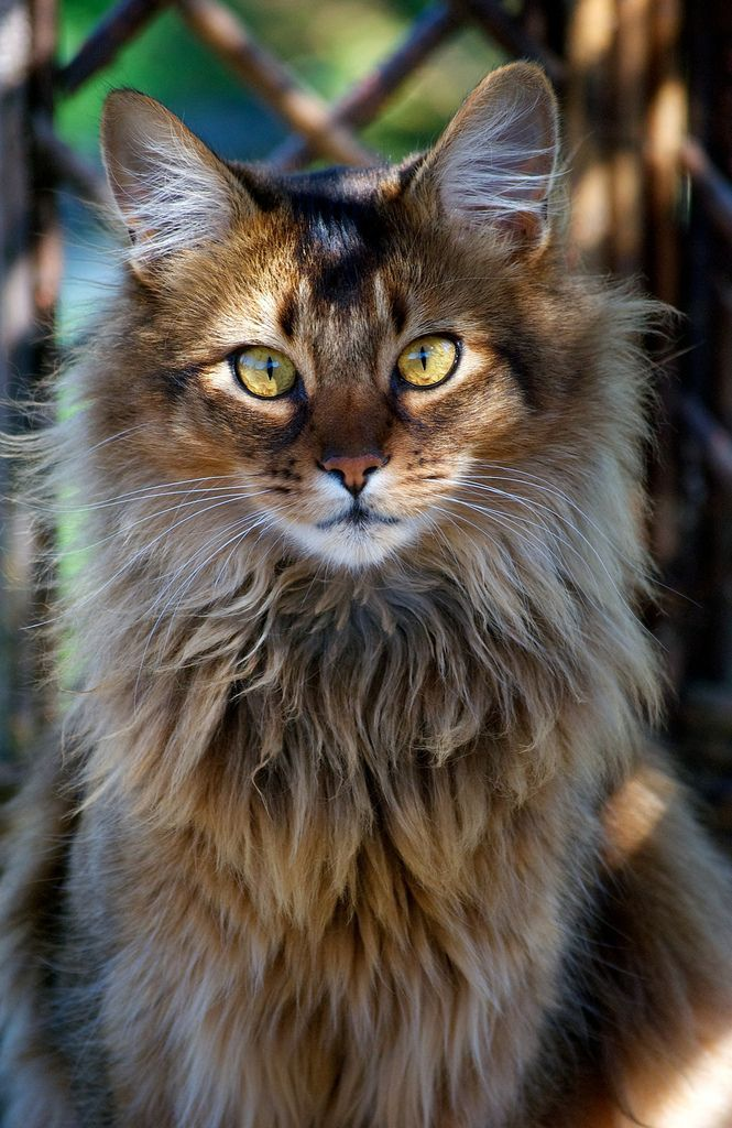 """Muzzle - I think this is where one of the biggest differences is apparent. The Maine Coon has a """"a squareness to the muzzle""""...""""visibly square"""". While the NFC breed standard says, """"part of the straight line extending toward the base of ear without pronounced whisker pads and without pinch.."""" - no mention of """"squareness"""". The Maine Coon muzzle can and should be noticeably square and the NFC muzzle is quite tapered and relatively pointed, I think."""