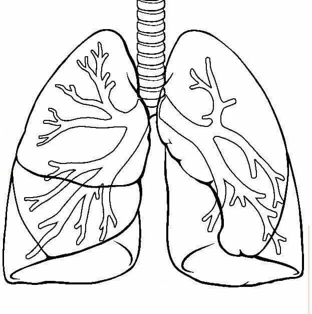 Akciğer Boyama Sayfaları Human Body Science Body Preschool Ve