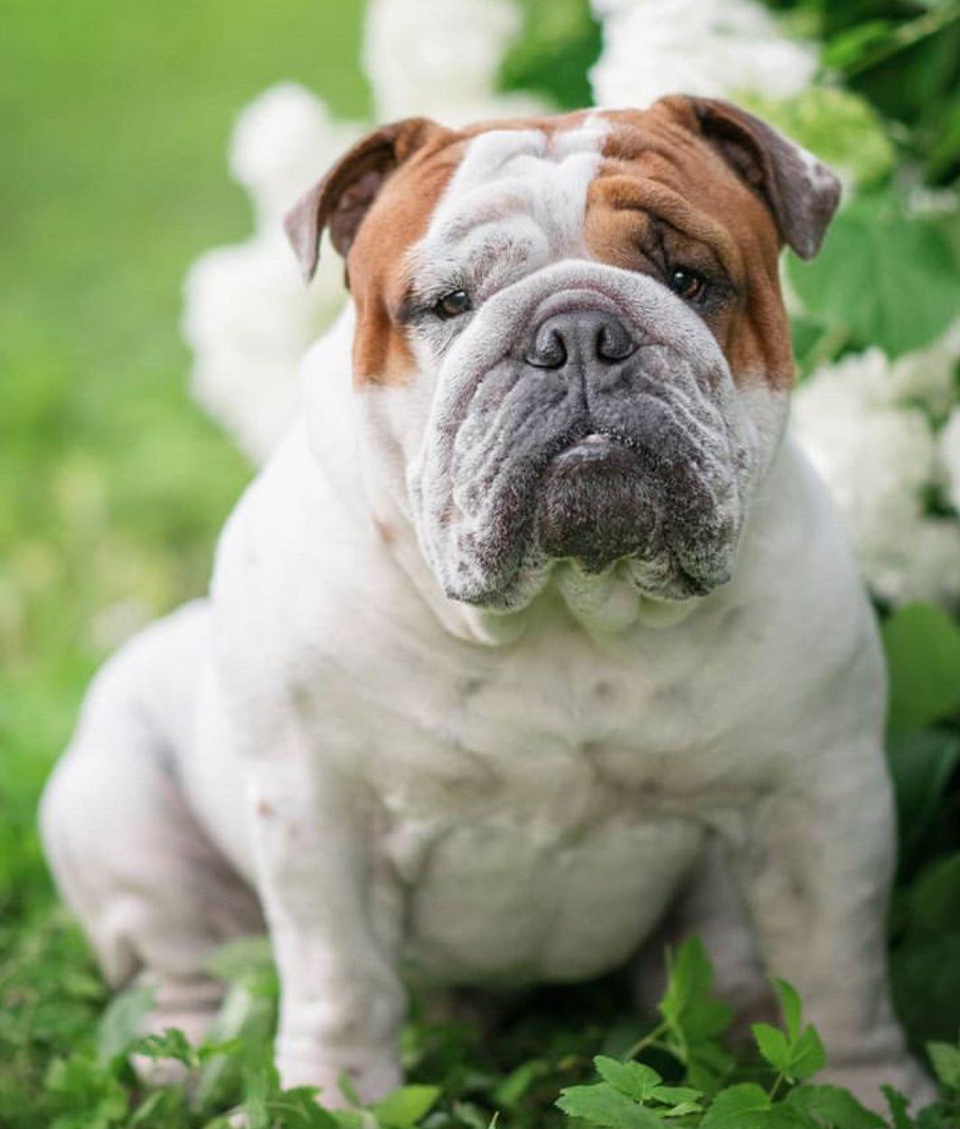 Pin By Vilina On Bulldogs Bulldog Bulldog Images Dog Photos