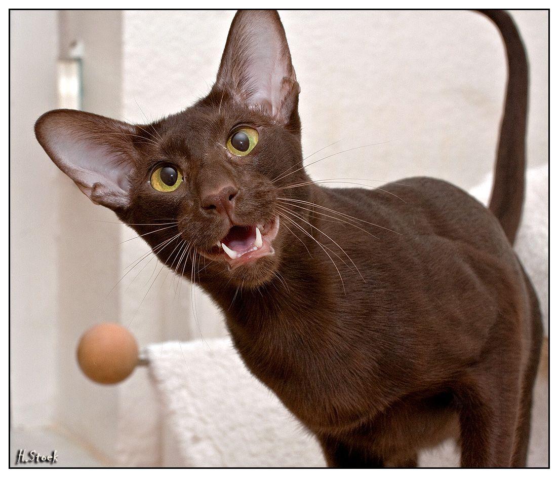 oriental cat | Siamese cats | Cats, Oriental shorthair ...