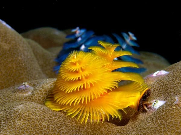 Yellow And Blue Christmas Tree Worms Spirobranchus Giganteus From East Timor Ocean Creatures Underwater Creatures Worms