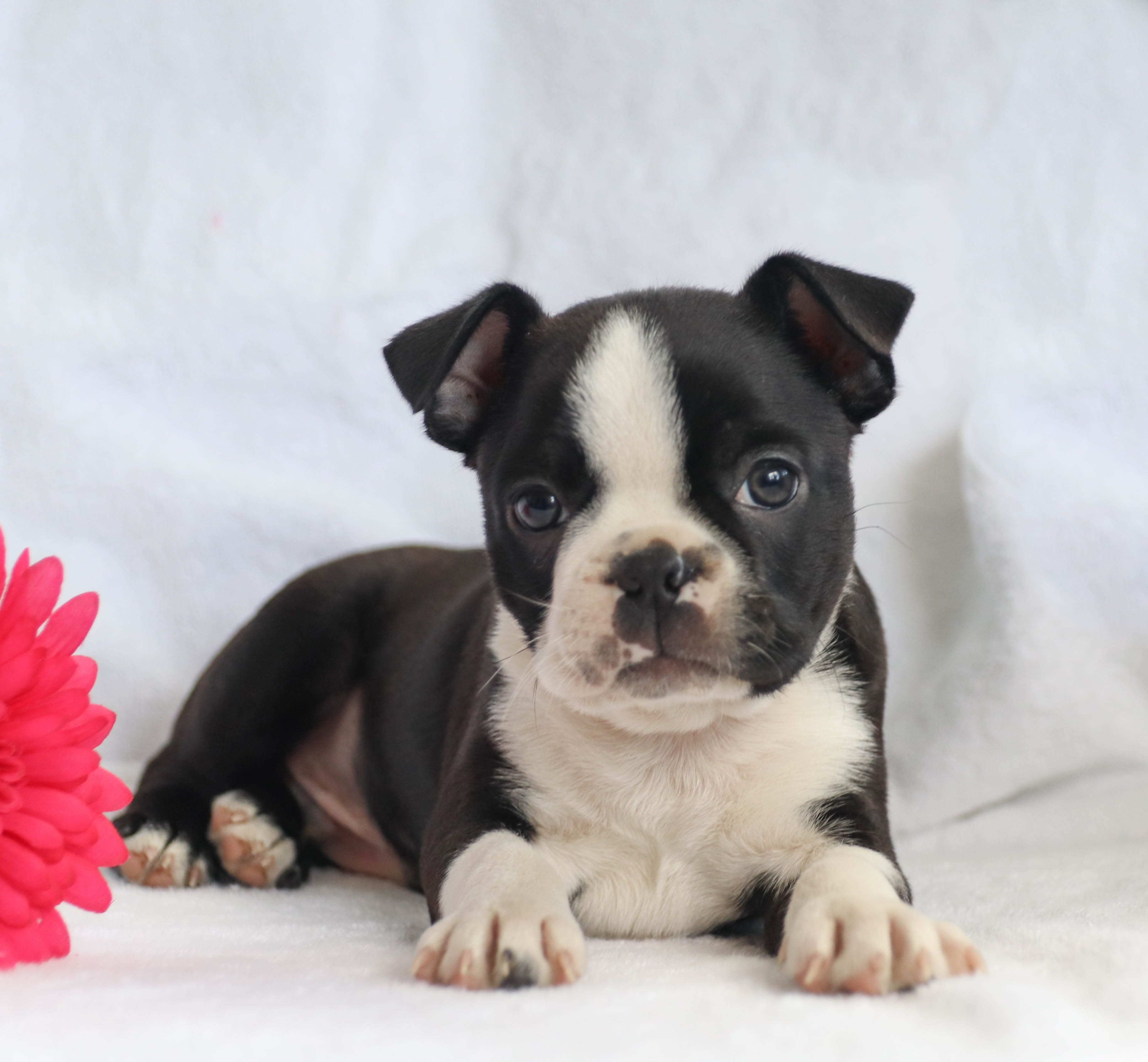 Pin By Sarah Withers On Boston Terriers And French Bulldogs Boston Terrier Puppy Boston Terrier Boston Terrier Love