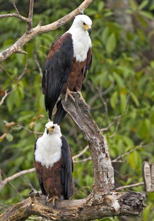 African Fish Eagle (Haliaeetus vocifer) Marco Valentini