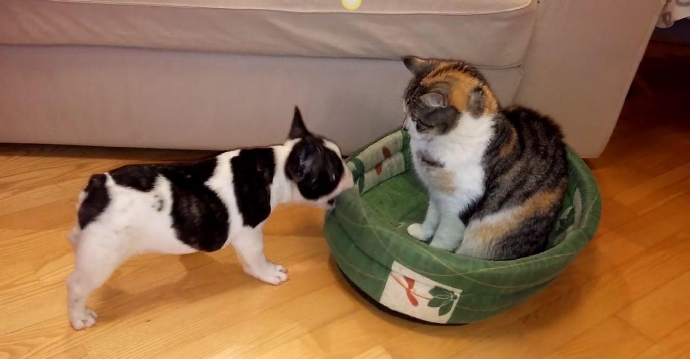 French Bulldog Really Wants His Bed Back Kitty Says Nope