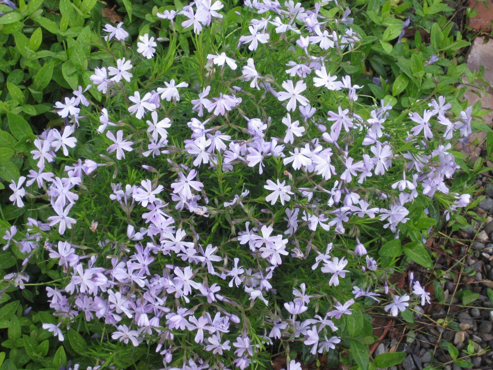 Flowering Perennials For Seashore Gardens Gardening Pinterest
