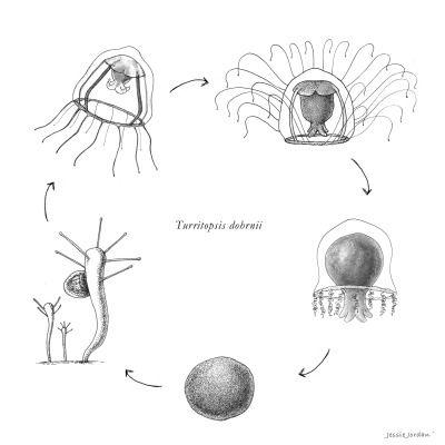 Turritopsis Dohrnii Life Cycle