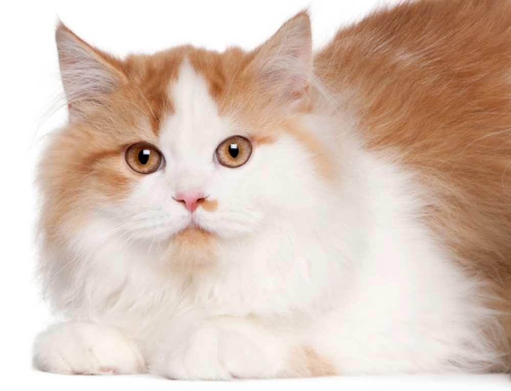 Siberian Red And White Siberian Cat Cat Breeds Pet Odor Eliminator