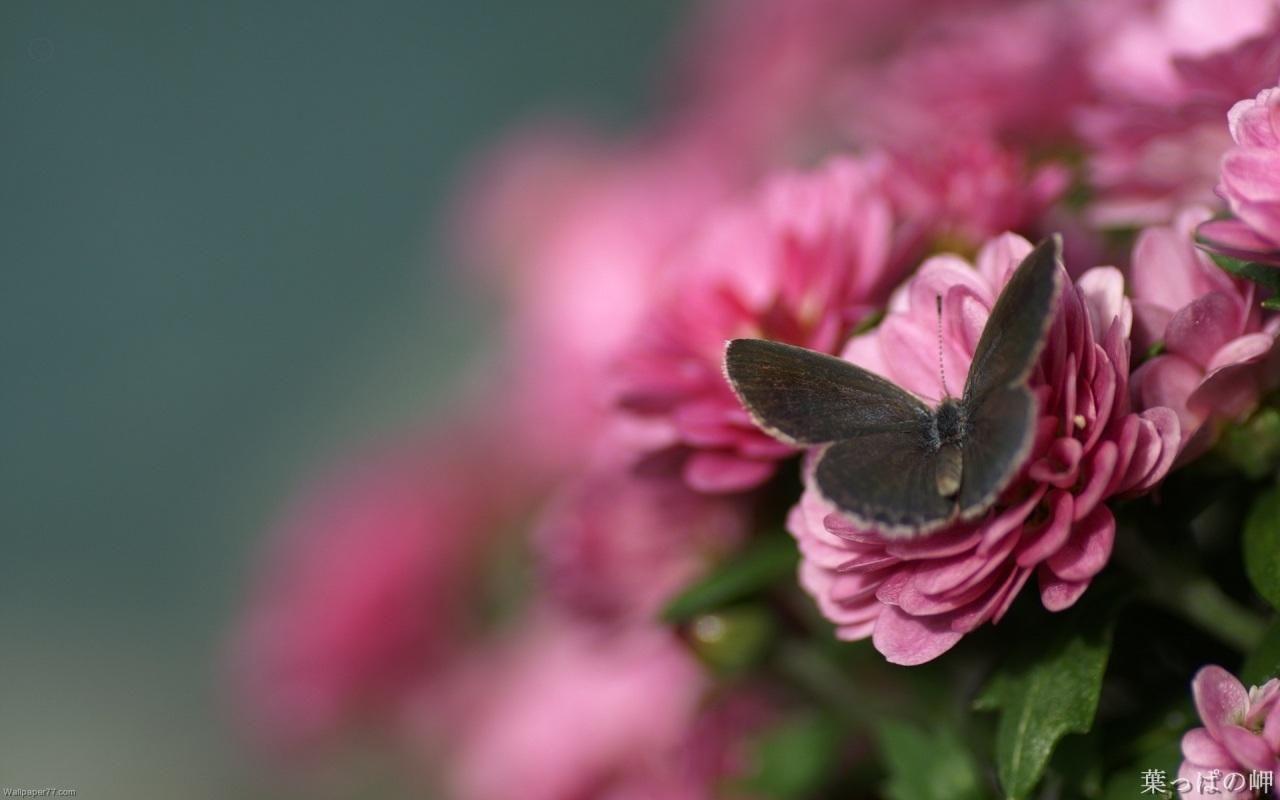 High Resolution Dark Blue Desktop Wallpapers Rose Flower Erfly Pink