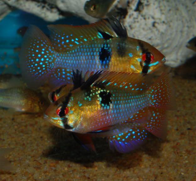 Mikrogeophagus Ramirezi Ram Apistogramma Ramirezi Papiliochromis Ramirezi Microgeophagus Ramirezi Beautiful Fish Cichlids Aquarium Fish