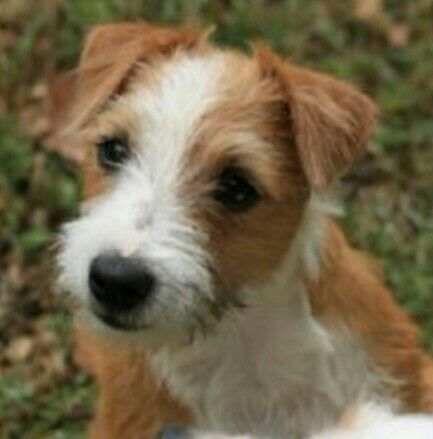 Cute Banded Mountain Terrier Jack Russell Terrier Puppies Jack