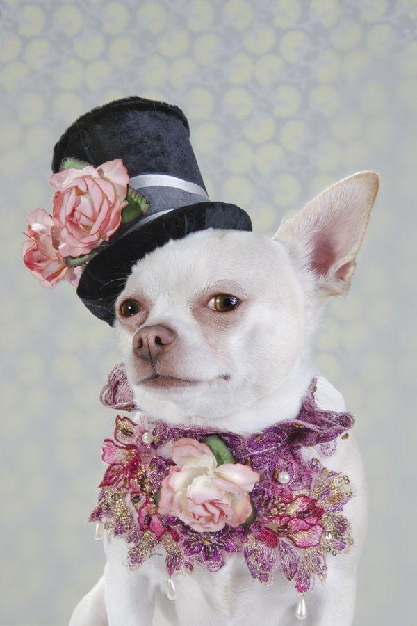 Dog Vogue Portraits Of Chihuahuas In High Fashion Pet Fashion