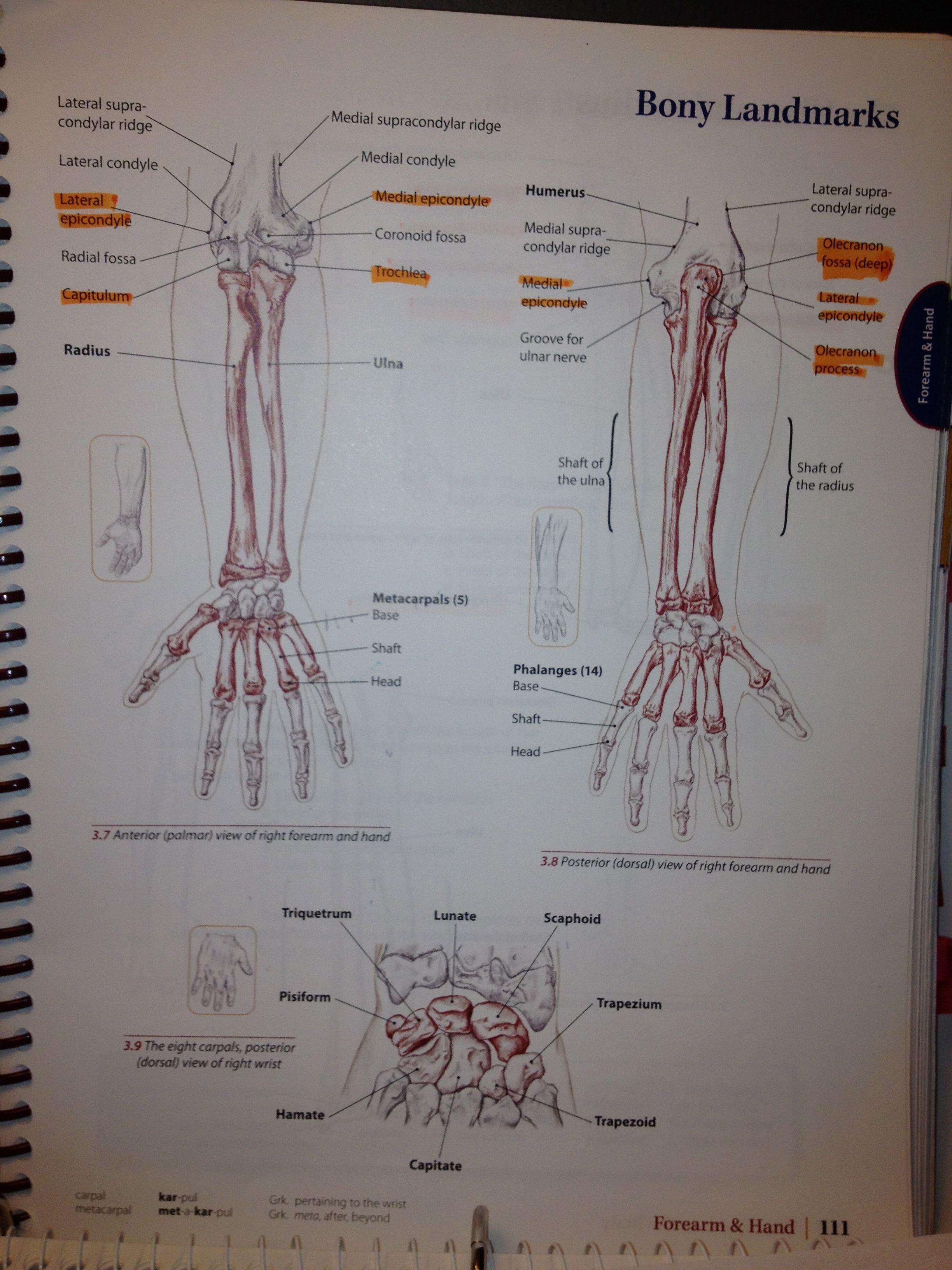Bony Landmarks Of Forearm Wrist And Hand