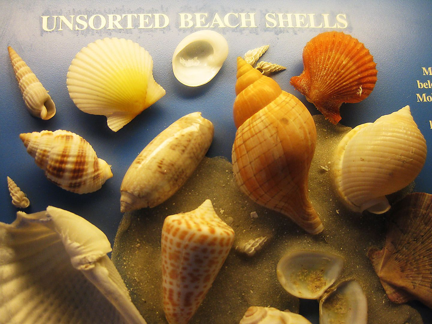 Rare Seashells and Their | seashells of sanibel island from the seashell museum