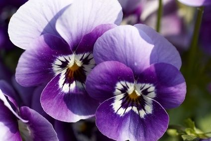 What Are The Treatments For Plant Fungus Ehow Pansies Winter Plants Annual Flowers