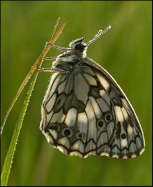 Marbled White Butterfly Waiting For The Sun To Dry It S Wings Tiere