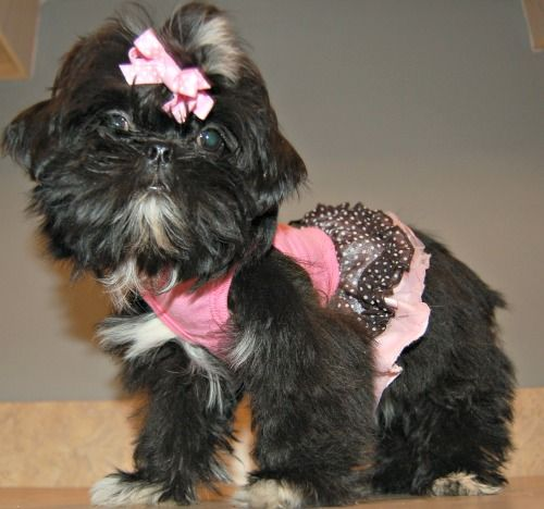 Shih Tzu Puppies For Sale In Ne Ohio Cleveland Akron Shih Tzu