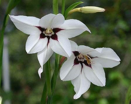 Acidanthera Acidantera Cebulowe Gladiolus Flower Love Flowers Flowers