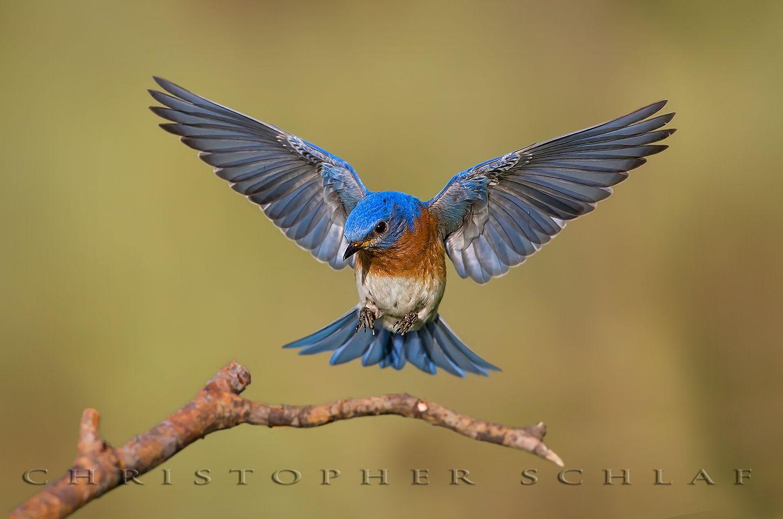 Christopher Schlaf Birds Photo 141 Birds Flying Photography Beautiful Birds Blue Bird Art
