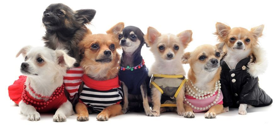 Chihuahua Clothes Amazon Com Chihuahua Dog Anxiety Dogs