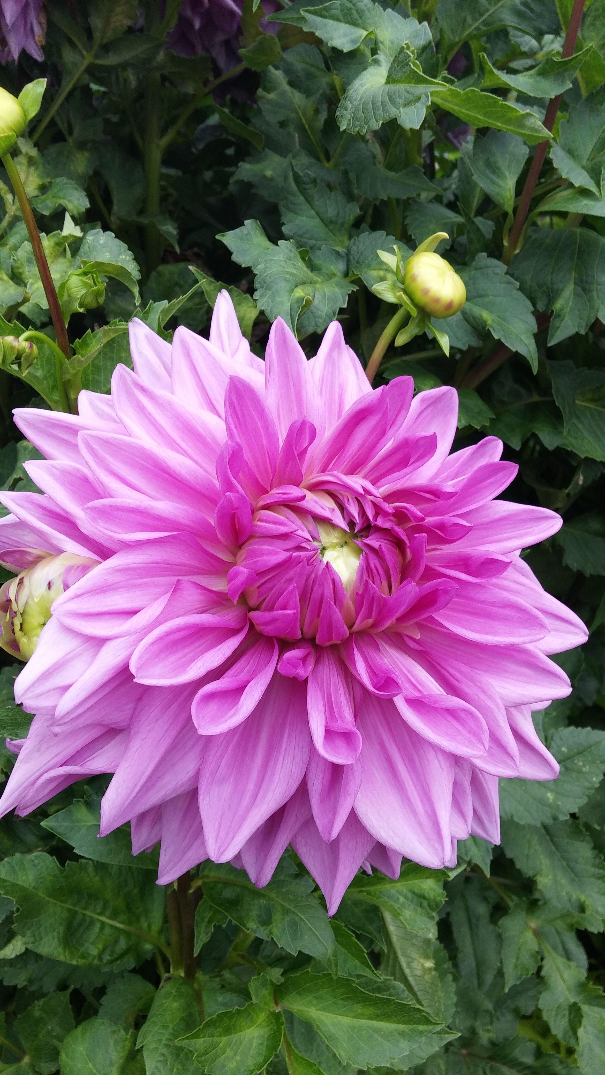 Dahlie. Flower. Pink. Nature