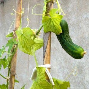 Como cultivar pepinos en maceta