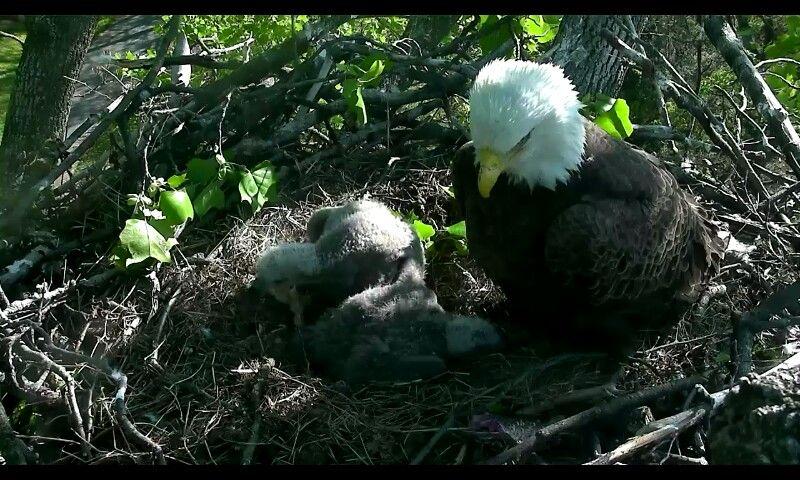 Live cam eagles in Washington DC.